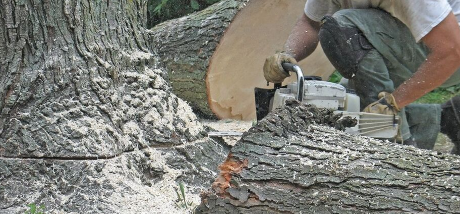 Felling of a sick tree by an employee of Emondage Trois-Rivieres Pro.